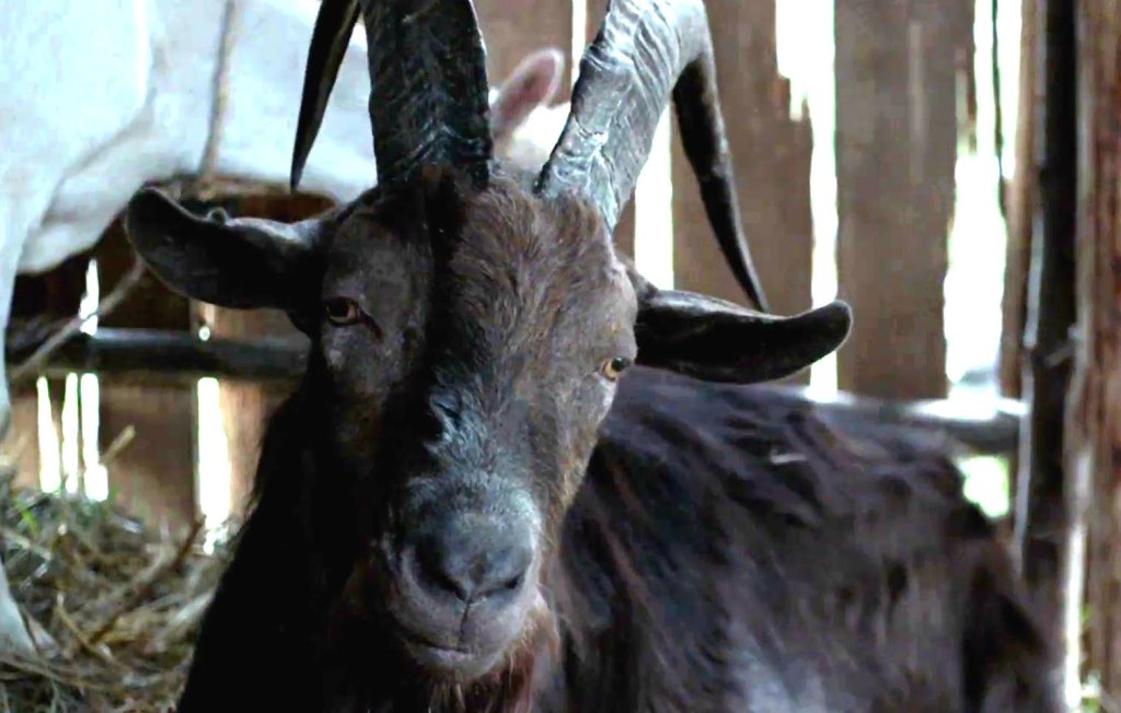 Black Phillip