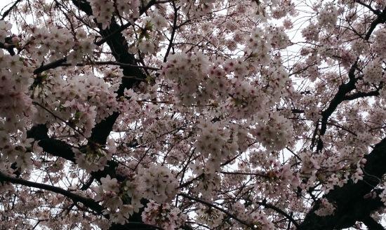 cherries-march-13-1
